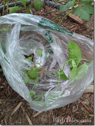 Get rid of bindweed with a plastic sack and weed killer