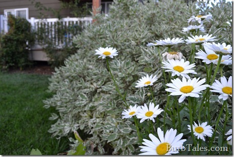 Can't beat shasta daisies.